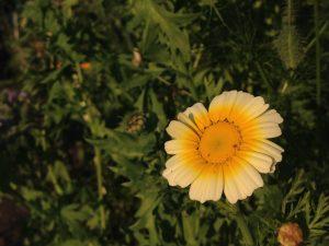 moestuin - bloem